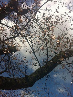 山王公園の桜